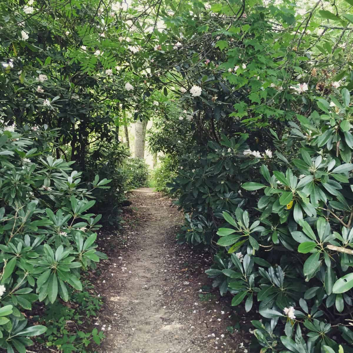 Rhododendron Path at Trout Lake
